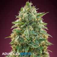 Advanced Seeds Amnesia