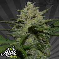 Auto Seeds Girl Scout Cookies