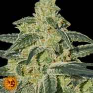 Barneys Farm Seeds Afghan Hash Plant
