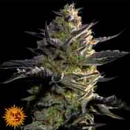 Barneys Farm Seeds Blueberry OG
