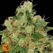 Barneys Farm Seeds CBD Caramel