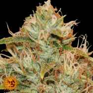 Barneys Farm Seeds CBD Lemon Potion Auto