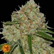 Barneys Farm Seeds Phantom OG