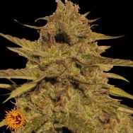 Barneys Farm Seeds Pineapple Haze