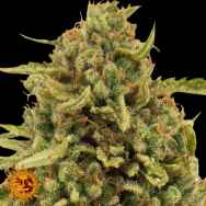 Barneys Farm Seeds Widow Remedy