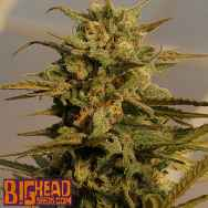 Big Head Seeds AUTO Julie's Cookies