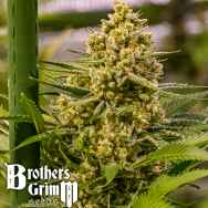 Brothers Grimm Seeds Princess Haze
