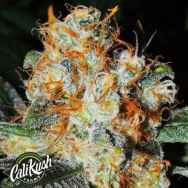 Cali Kush Farms Genetics Jaffa Cake