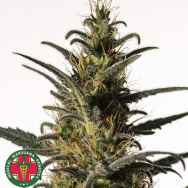 Medical Marijuana Genetics Seeds Candida (CD-1)