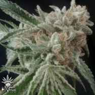 Cannaventure Seeds Tennessee Kush #2