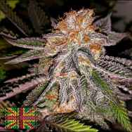 Connoisseur Genetics Seeds Strawberry Cookies