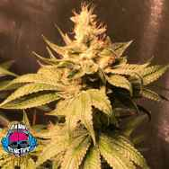Dank Genetics Seeds Atomic Sour