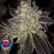 Dank Genetics Seeds Sour Dosidos