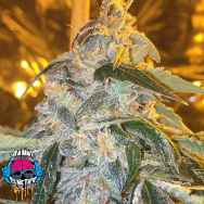 Dank Genetics Seeds Sour Ice Cake