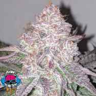 Dank Genetics Seeds Sour Lemonaid