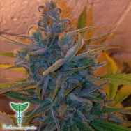 Dankonomics Genetics Seeds Blue Tooth