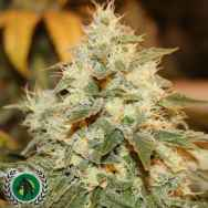 DarkHorse Genetics Seeds Chem Berry D