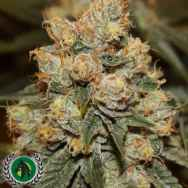 DarkHorse Genetics Seeds Gamma Berry