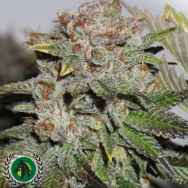 DarkHorse Genetics Seeds Hulk Smash