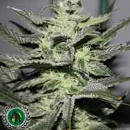 DarkHorse Genetics Seeds Strawberry Glue