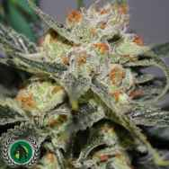 DarkHorse Genetics Seeds Strawberry Shortcake