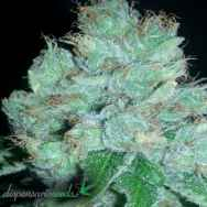 Dispensario Seeds Eter Blueberry AKA Eter Express