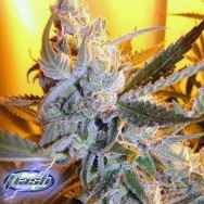 Flash Autoflowering Seeds Heaven's Haze