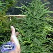 Flash Autoflowering Seeds Amazing Cherry