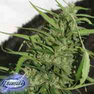 Flash Autoflowering Seeds Cookie G13