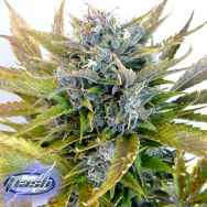 Flash Autoflowering Seeds Super Blueberry Haze