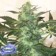 Flash Autoflowering Seeds Critical Chaze SuperAuto F1