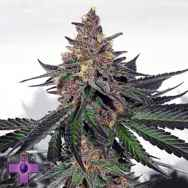Gage Green Seeds Mendo Breath F3 VM