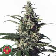 Medical Marijuana Genetics Seeds Green Doctor (GD-1)