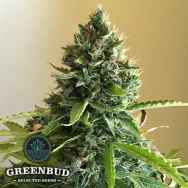 Greenbud Seeds Choco Candy
