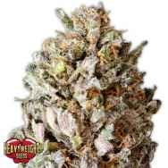 Heavyweight Seeds Diesel Drift