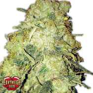 Heavyweight Seeds Goldmine