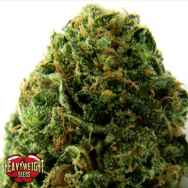 Heavyweight Seeds Massive Midget AUTO