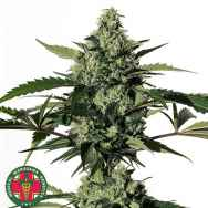 Medical Marijuana Genetics Seeds Hiydrow (HY-1)