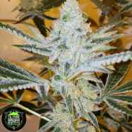 In House Genetics Jungle Diamonds
