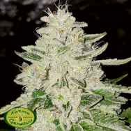 Karma Genetics Limited Seeds Fruity Pebble Rado