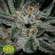 Karma Genetics Seeds Grenadine