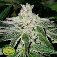 Karma Genetics Limited Seeds Orange Headstash