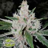 Karma Squad Seeds Crumbled Lime