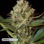Kera Seeds NLX Special