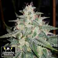Mephisto Genetics 4 Assed Monkey