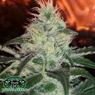 Mosca Seeds Pink Bubble Gum