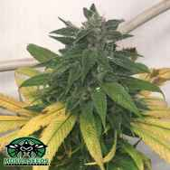 Mosca Seeds White Widow