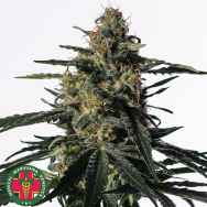 Medical Marijuana Genetics Seeds Nightingale (NN-1)