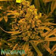 Nirvana Seeds AUTO Blueberry Kush