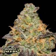 Paradise Seeds Chong's Choice Blue Kush Berry
